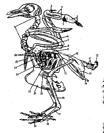 Внутренние органы голубя