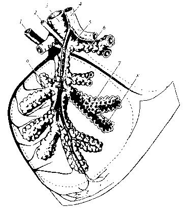Рис. Схема бронхиального