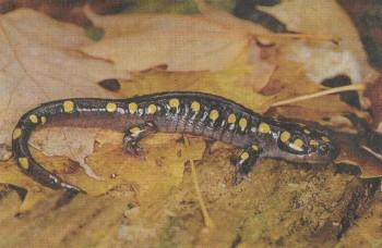 Саламандра Фото 1