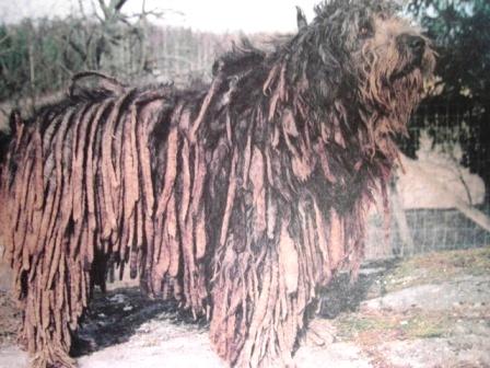 Бергамская овчарка.