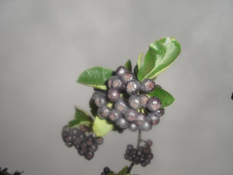 Soibus melanocarpa Wild. Черноплодную рябину все чаще высаживают на садово - огородных участках. . Ее можно выращивать как куст  Фото 1