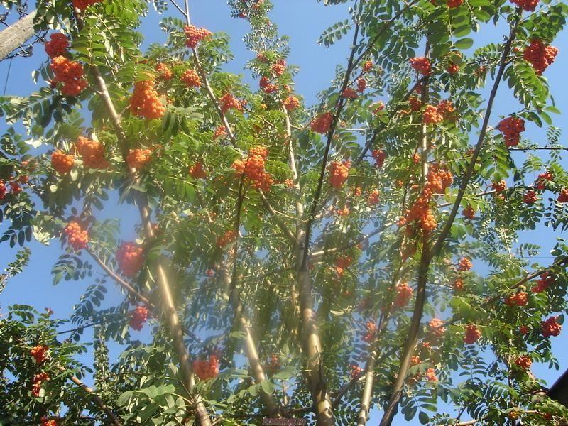 Sorbus aucuparia L. var. edulisРябина появилась у нас в XIX веке на севере Моравы. Однако она известна и в  Фото 1