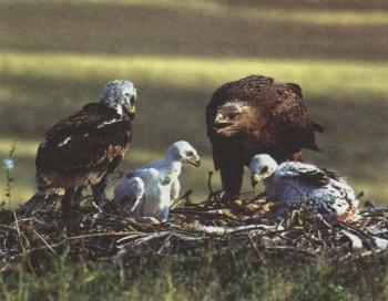 Рефират про степного орла
