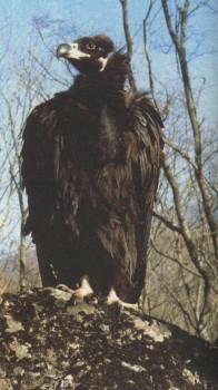 чёрный гриф фото