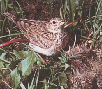 Доклад по птице жаворонке