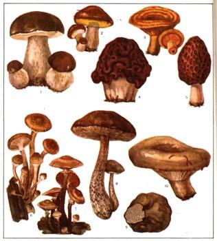 Грибы съедобные - фото грибов с названиями, описание