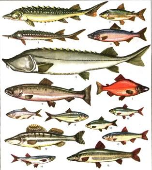 Проходные и полупроходные рыбы 1