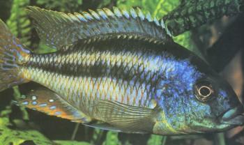 Хищная рыба семейства цихловых